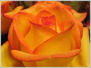 Rose_cu